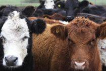 Brucelosis bovina: por qué cumplir con la determinación obligatoria de estatus